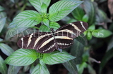 COSTA RICA, Zebra Longwing Butterfly, CR148JPL