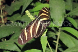 COSTA RICA, Zebra Longwing Butterfly, CR149JPL