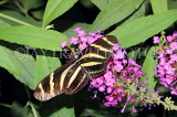 COSTA RICA, Zebra Longwing Butterfly, CR150JPL