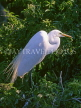 COSTA RICA, birdlife, Egret perched on tree branch, CR96 JPL