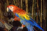 COSTA RICA, birdlife, Scarlet Macaw (red, yellow, blue), CR88JPL