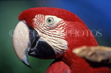 COSTA RICA, birdlife, red Macaw, closeup, CR82JPL