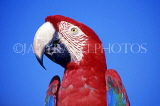 COSTA RICA, birdlife, red Macaw, closeup, CR87JPL