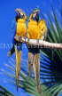 COSTA RICA, birdlife, two Macaws, CR84JPL