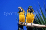 COSTA RICA, birdlife, two yellow Macaws, CR81JPL