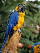 COSTA RICA, birdlife, yellow Macaw, CR83JPL