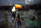 COSTA RICA, birdlife, yellow billed Toucan, CR78JPL
