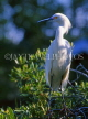 COSTA RICA, birdlife, young Egret, CR97JPL