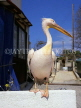 CYPRUS, Paphos, The Pelicans of Paphos, Pelican perched on wall, CYP483JPL