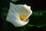CYPRUS, Paphos, large white Arum Lily, CYP468JPL