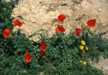 CYPRUS, wild flowers, Poppies against stone wall, CYP473JPL