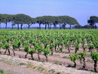 FRANCE, Languedoc-Roussillon, Camargue, vineyards, FRA420JPL