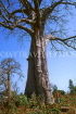 GAMBIA, large Baobab tree, boy by the tree, GAM994JPL