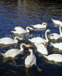 GERMANY, Hamburg, Alster Lake swans, HAM547JPL