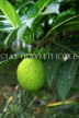 GRENADA, Breadfruit, on tree, GRE446JPL