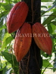GRENADA, Cocoa pods on tree, GRE454JPL