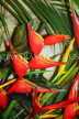 GRENADA, Heliconia (Crab claw) flowers, CAR1372JPL