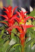 GRENADA, red Bromeliad flowers, CAR1374JPL