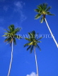 GRENADA, three coconut trees against blue sky, GRE465JPL
