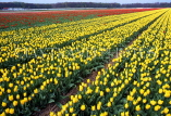 HOLLAND, countryside Tulip fields, HOL603JPL