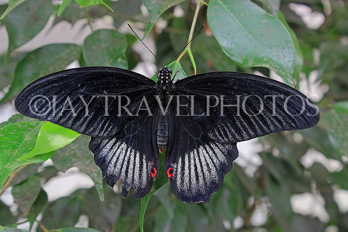 INDONESIA, Asian Swallowtail Butterfly, IND1206JPL