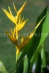 Indonesia, BALI, yellow Heliconia  flower, BAL790JPL