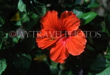 MADEIRA, Funchal Botanical Gardens, red Hibiscus flower, MAD114JPL