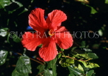 MADEIRA, Funchal Botanical Gardens, red Hibiscus flower, MAD1319JPL