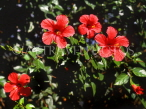 MADEIRA, Funchal Botanical Gardens, red Hibiscus flowers, MAD1320JPL