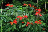 MADEIRA, Poinsettia flowers, MAD89JPL