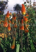MADEIRA, Red Hot Poker flowers, MAD1319JPL