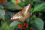 MALAYSIA, Penang, Brown Clipper Butterfly, MSA552JPL