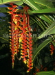 MALAYSIA, Penang, Crab Claw (Lobster Claw) flowers, MSA426JPL