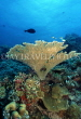 MALDIVE ISLANDS, Coral reef, Table Coral, MAL103JPL