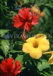 MEXICO, Yucatan, Hibiscus (red) and yellow Oliyander (Alamanda) flowers, MEX519JPL