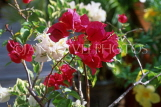 MEXICO, Yucatan, flowers of Mexico, Bougainvillea flowers, MEX586JPL