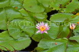 MEXICO, Yucatan, flowers of Mexico, Water Lily, MEX595JPL