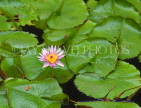 MEXICO, Yucatan, flowers of Mexico, Water Lily, MEX680JPL