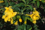 MEXICO, Yucatan, flowers of Mexico, Yellow Oleander, MEX671JPL
