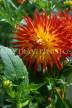 MEXICO, Yucatan, flowers of Mexico, large red and yellow Dahlia, MEX588JPL