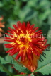 MEXICO, Yucatan, flowers of Mexico, large red and yellow Dahlia, MEX676JPL