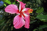 MEXICO, Yucatan, flowers of Mexico, pink Hibiscus, MEX670JPL