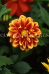 MEXICO, Yucatan, flowers of Mexico, red and yellow Dahlia, MEX589JPL