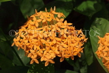 SINGAPORE, Gardens by the Bay, Flame of the Woods flowers, SIN1378JPL