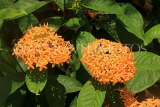 SINGAPORE, Gardens by the Bay, Flame of the Woods flowers, SIN1379JPL