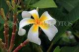 SINGAPORE, Gardens by the Bay, Frangipani (Plumeria) flower, SIN917JPL