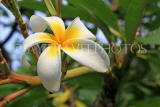 SINGAPORE, Gardens by the Bay, Frangipani (Plumeria) flowers, SIN895JPL