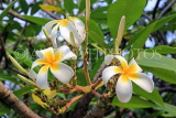 SINGAPORE, Gardens by the Bay, Frangipani (Plumeria) flowers, SIN896JPL