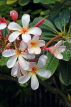 SINGAPORE, Gardens by the Bay, Frangipani (Plumeria) flowers, SIN898JPL