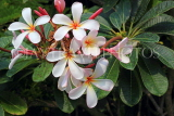 SINGAPORE, Gardens by the Bay, Frangipani (Plumeria) flowers, SIN899JPL